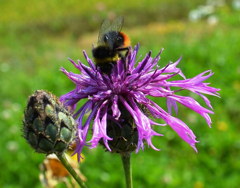 bumblebee on common knapweed